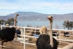 San Cristóbal Zapotitlán ostrich ranch 2012-17-1206