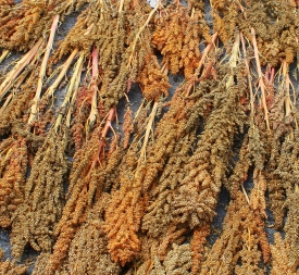 08 Quinoa drying in the sun
