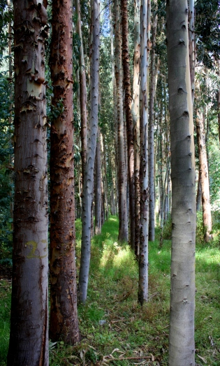 09 Stand of eucalyptus trees
